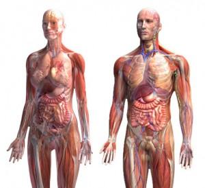 anatomiya-cheloveka